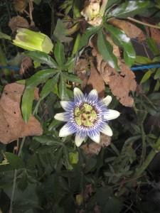 amsterdam flower