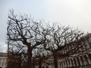 brussels trees 4