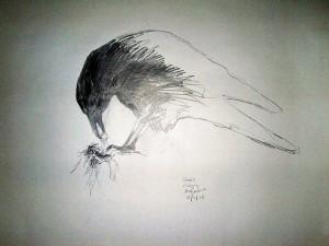 corvid feeding